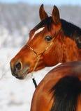 зима портрета лошади залива Стоковые Изображения RF