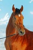 зима портрета лошади залива Стоковая Фотография