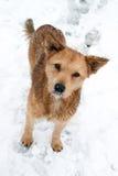 зима портрета собаки Стоковая Фотография RF