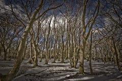 зима пущи бука Стоковое Изображение RF