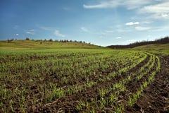 зима пшеницы поля Стоковая Фотография
