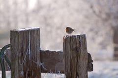 зима робина redbreast Стоковое Изображение RF