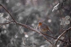 Зима Робин стоковая фотография