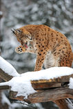 Зима рыся Стоковая Фотография RF