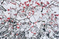 зима рябины Стоковые Фотографии RF