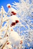 Зима рябины Стоковая Фотография RF