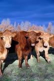 зима ряда коров Стоковая Фотография