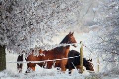 зима серии лошади Стоковые Изображения RF