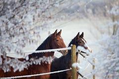 зима серии лошади Стоковые Изображения