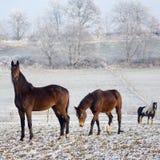 зима серии лошади Стоковые Фото