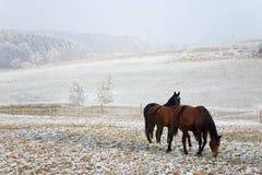 зима серии лошади Стоковые Фотографии RF