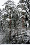 зима солнца природы пущи первый снег в лесе Стоковая Фотография RF
