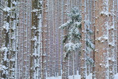 зима сосенки пущи стоковая фотография