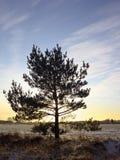 зима сосенки Стоковые Фото
