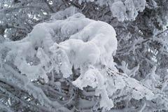зима спруса неба сезона ветви предпосылки голубая Стоковая Фотография RF