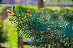 зима спруса неба сезона ветви предпосылки голубая Стоковое Изображение RF