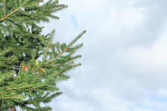 зима спруса неба сезона ветви предпосылки голубая Стоковые Фотографии RF