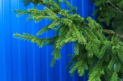 зима спруса неба сезона ветви предпосылки голубая стоковые фото