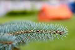 зима спруса неба сезона ветви предпосылки голубая Стоковое Фото