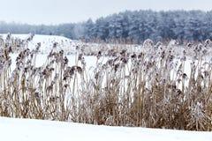 зима температуры России ландшафта 33c января ural Тростники и снег стоковое изображение rf