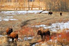 зима травы поля зубробизона Стоковое Изображение