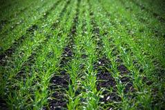 зима травы поля урожаев Стоковые Фотографии RF