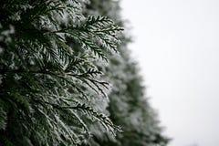 Зима туи Стоковые Изображения