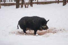 зима хряка одичалая Стоковые Фотографии RF
