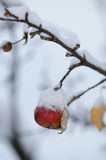 зима яблока красная снежная Стоковая Фотография RF