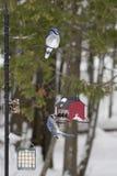 Зима Blue Jays на подавая станции - Cyanocitta Cristata Стоковое Изображение RF