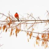 Bullfinch стоковые изображения