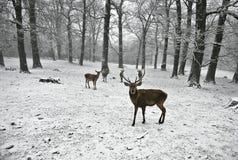 зима deers Стоковое Изображение