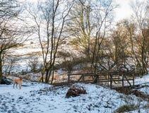 Зима Forrest Sceen с собакой & мостом labrador Стоковое Фото