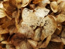 зима hydrangea стоковая фотография