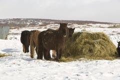 зима icelandic лошадей Стоковые Фотографии RF