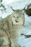 зима lynx Стоковые Изображения RF