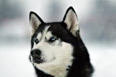 зима malamute Стоковая Фотография RF