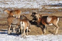 зима mouflon Стоковая Фотография RF