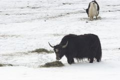 зима muskox еды Стоковые Фото