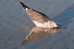 зима plumage s чайки bonaparte стоковые изображения rf