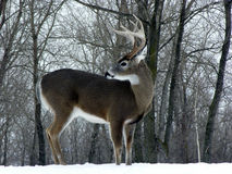зима whitetail самеца оленя стоковая фотография rf