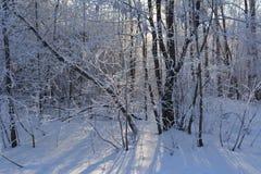 Зимний день в лесных деревьях покрытых с изморозью в январе стоковые фотографии rf