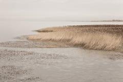 Злаковик болотоа Стоковое Фото