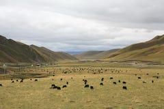 Злаковик в Тибете Стоковое Изображение RF