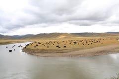 Злаковик в Тибете Стоковое фото RF