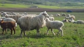 Злаковик горы с пасти стадо овец на заходе солнца, в деревне на ферме пасите и съешьте траву сток-видео