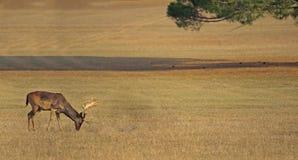 злаковик оленей Стоковая Фотография RF
