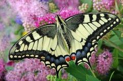 злаковик цветков бабочки после полудня поздно естественный machaon бабочки на цветя луге конец вверх Стоковое Изображение