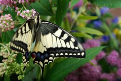 злаковик цветков бабочки после полудня поздно естественный machaon бабочки на цветя луге конец вверх Стоковые Фото