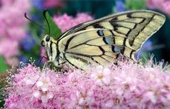 злаковик цветков бабочки после полудня поздно естественный machaon бабочки на цветя луге конец вверх Стоковая Фотография